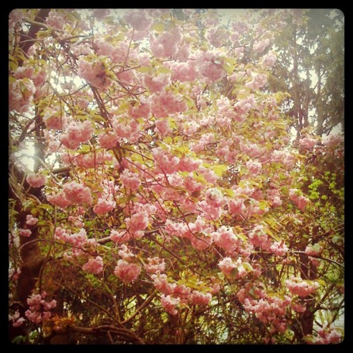 Some pretty blossoms.  (Taken with instagram)