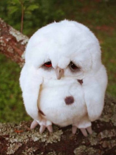 celestials0ul:  fretsetgo:  Does anyone know what kind of owl this is?  Daw, he looks sad.