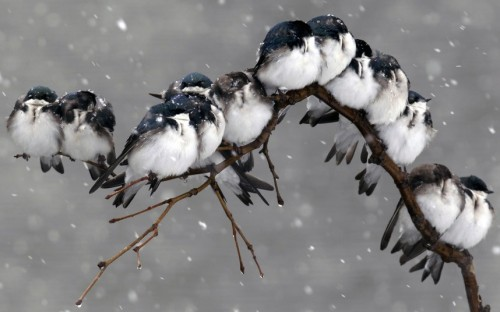 mabelmoments:  Birds perch on a branch during a spring snowstorm in Pembroke, N.Y. Picture: AP Photo/David Duprey