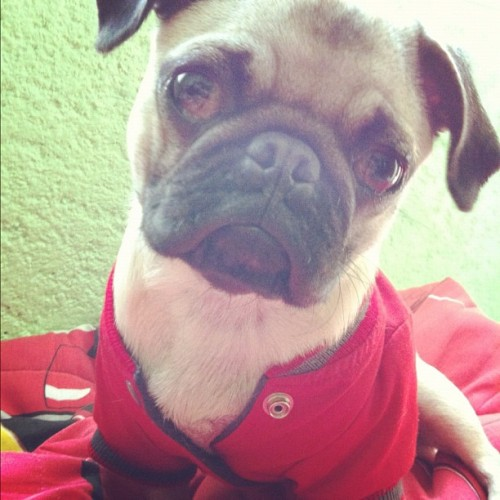 Meet Oli! Please follow @rammx ! #pugsofinstagram #pug #pugs  (Taken with instagram)