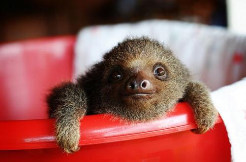 slothoftheday:  Photo Credit: http://www.flickr.com/photos/jisou/3364851456/  meeeeep