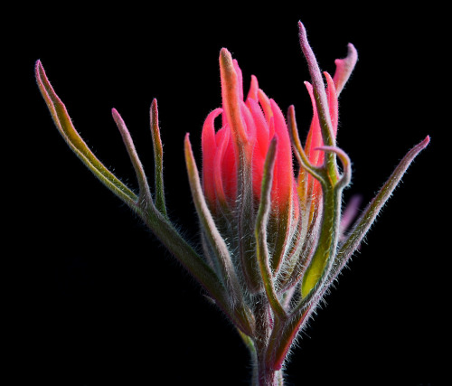 Castilleja cromosa. Photo credit Steve Hegji.