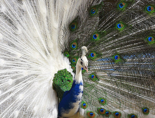sakuraakane:  julierobohm:  White-Blue Peacock by Chi Liu on Flickr.  Um…O.o I think you're a bit confused birdy…