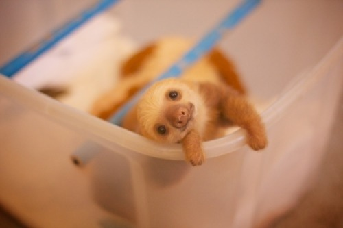 toofuckingcute:  (via A Baby Sloth To Help You Get Through Today)
