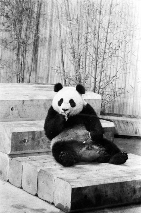 "Cutest Head of State Gift - EVER The United States received two giant pandas, Ling-Ling and Hsing-Hsing, from the People's Republic of China in April, 1972.  The pandas were given as a token of friendship in response to President Nixon's goodwill trip to China. First Lady Pat Nixon officially accepted the fuzzy goodwill ambassadors at the National Zoo in Washington, DC.  She had been charmed by the pandas she had seen in China and declared at the welcoming ceremony, ""I think 'panda-monium' is going to break out at the zoo."" Pat was right, Ling-Ling and Hsing-Hsing were the top attractions at the zoo until their deaths in in the 1990s. Here, Ling-Ling munches on her snack on her first day in the new Panda House at the National Zoo in Washington, DC.  4/16/1972.  Noms. First Lady Centennial Celebration of Pat Nixon and Lady Bird Johnson"
