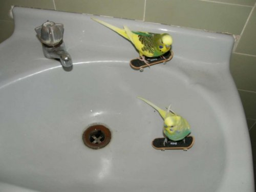 collegehumor:   Skateboarding Parakeets   Polly want an ollie?