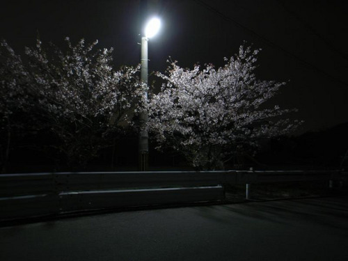 Sakura at night on Flickr.