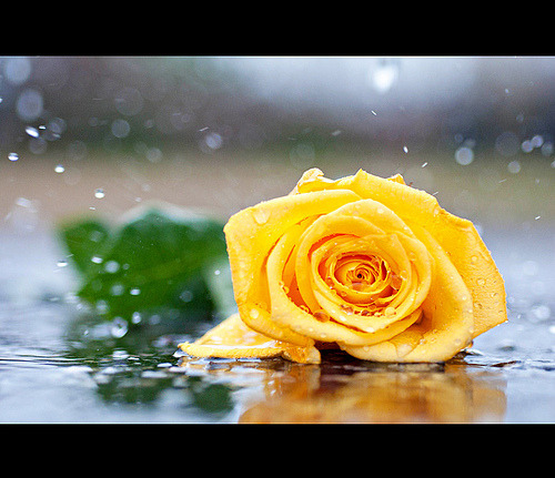 Rose in the Rain (by Kris Oneal Photography)