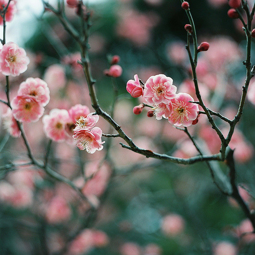 prettylittleflower:  plum (by ditao)