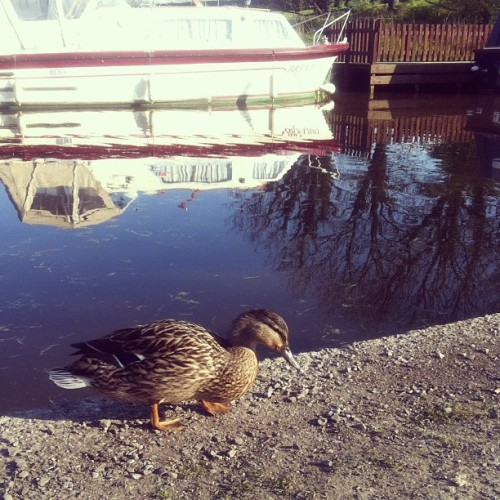A duck :)  (Taken with instagram)