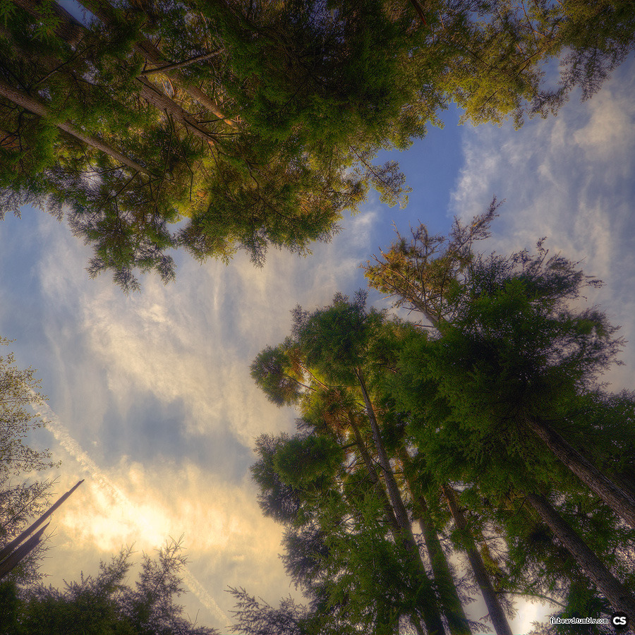 treetops overhead in the Saratoga Woods in Langley, WA.