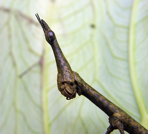 "shychemist:  winsect:  Proscopia spp, Ecuadorian Walking Stick Mimic South America *This is actually a grasshopper (orthopteran)  After first looking at this photo, I thought ""What am I looking at""?. After reading the text, I'm still thinking ""What am I looking at""?"
