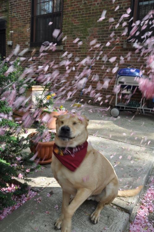 amipunkyet:  WE TRIED TO TAKE SOME PICS OF GEORGE WITH CHERRY BLOSSOMS FALLING IN THE AIR BUT WHEN THEY FELL HE MADE THIS FACE