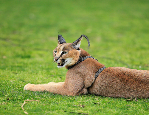Caracal_M6E3754 by day1953 on Flickr.Kasten, our caracal ambassador, is one handsome cat.
