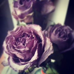 taytayii:  i dried my lavender roses from my love - photo taken by me