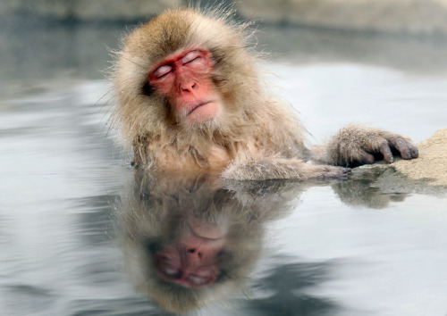 A Japanese snow monkey relaxes in a hot spring in the Jigokudani valley in northern Nagano Prefecture, Japan on Feb 10, 2012. The macaques descend from the forests to the warm waters of the hot springs in the mornings, and return to the security of the forests in the evenings. (Nick Ut/Associated Press)