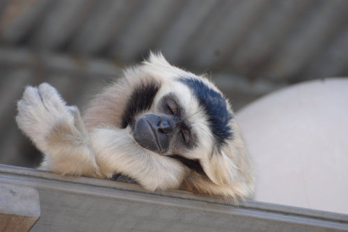 Advice from the Gibbons: Don't forget to take a moment and relax every now and then….