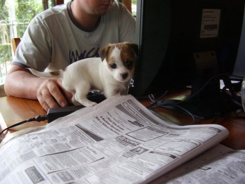 Just a puppy looking through the want ads.