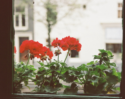 unlimitedblue:  Geranium at a Window by Nastasiya-k on Flickr.