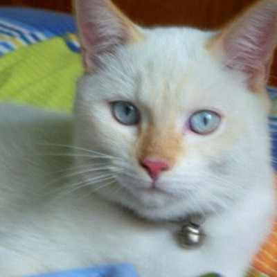 Mino's eyes #blueeyes #cat #gato #cats #pets #animals #gatito #neko