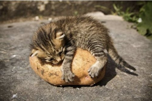 stumblingmanatee:  That's a kitten hugging a potatoe    IT IS A KITTEN HUGGING A POTATO YOUR ARGUMENT IS INVALID.