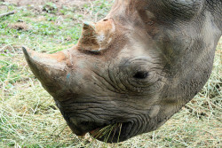 It's surprising to hear that although people know rhinos are constantly poaches for their horns, often the reasons why horns are desired aren't brought up. Sure, chinese medicine plays a huge role in it, but the details! The horns are prized for it's translucent beauty when carved and the beneficial 'healing' properties, which have no scientific facts of benefits, by the way. In Yemen, imports of horn were banned in 1982 yet men still seek out the 'jambiya.' It is a curved dagger to signal a son's manhood. China is also guilty of ornamental horn use. Over the centuries, they've been used to make ceremonial cups, buttons, belt buckles, hair pins, paperweights and other useless junk that made killing a rhino ridiculous. Perhaps equally ridiculous is using the horn as a remedy to things run-of-the-mill drugs could cure; the common cold, fevers, gout and snakebites, just to name a few.. In fact, scientists have performed experiments and concluded you're just as good chewing fingernails to lower a fever's temperature than using rhino horn as a cure.  To shed some light on an extremely negative situation, the Greeks did use the horn properly. From the 5th century BC to the 19th century, they used it to purify water. Scientists believe there's truth behind this, since the horns are keratin all the way through and react chemically with strongly alkaline poisons. But honestly, no matter what little benefits rhino horns have, I'd much rather see these gorgeous masses of animals congregate (or you know, not if they're black rhinos) by the hundreds and roam the plans they deserve the right to be in. Photo credit: ruthhallam