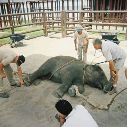 "peacefulwarri0r:  this is how they ""teach"" elephants to do ""tricks"" for the circus, for YOUR entertainment!!! they aren't toys. they do NOT belong to us. they're living beings with a heart & feelings. Grrr! please, don't pay for their suffering."