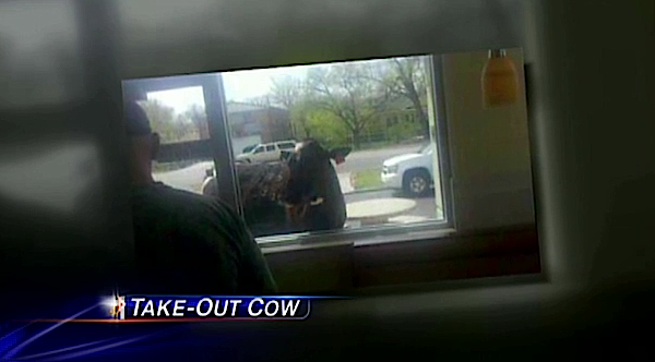 Cow wanders up to McDonald's drive-thru window