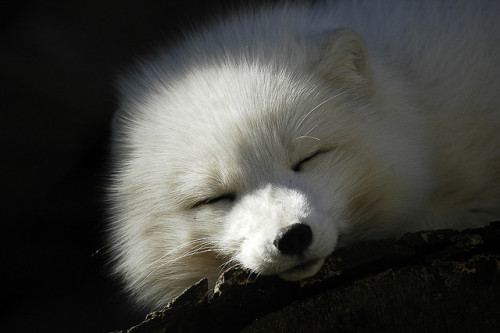 sleepy arctic fox also, same naps in the sunlight are the best