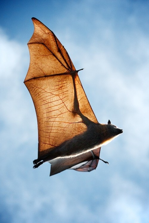 theanimalblog:  flying fox / bat