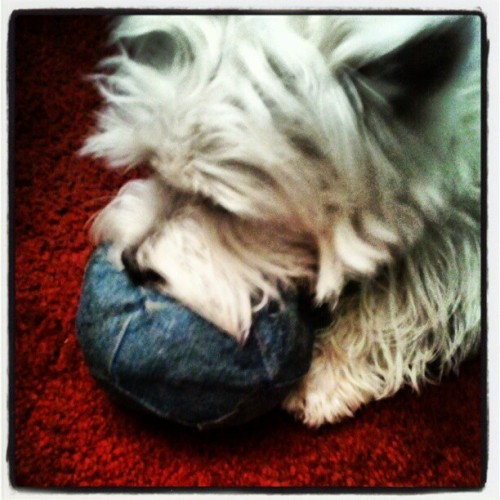 Dezzy chomping on a jean ball. #puppytweet #Westie @mnpolley (Taken with instagram)