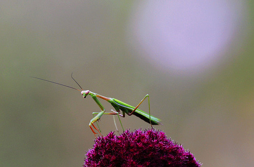 Praying Mantis : Ready to pounce !!! (by Clement Tang * busy *)