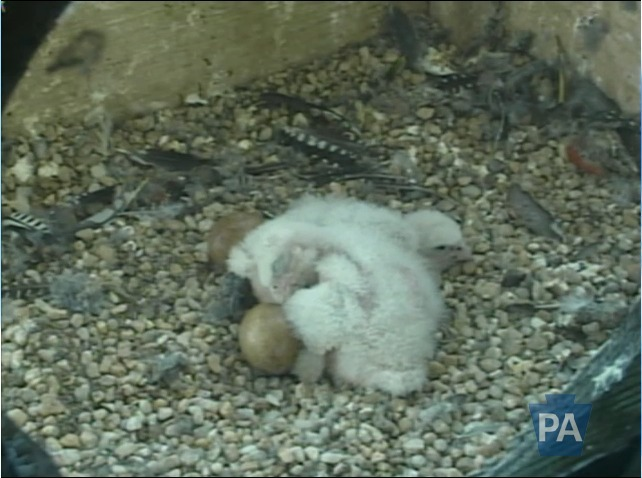 Everyone, it's nap-time for the babies! So cute watching them cuddle up with eachother. Plus, they're involving their soon-to-be-siblings [aka, the other two eggs] to keep them warm![[ Click picture to babysit ;) ]]