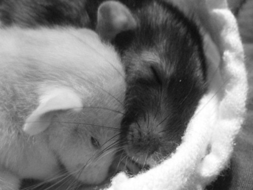 rat-it-to-me:  My new rat and Josie.<3