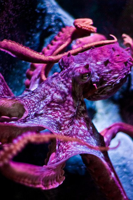 ilovecephalopods:  worldlyanimals:  Giant Octopus by JcRowland on Flickr.  Let us all have a moment of silence to observe this perfect specimen in awe.