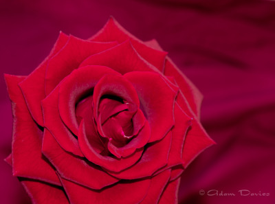 13/1825 A rose….again. I recomposed it this time, took my time and used a tripod. The result, a lot cleaners and crisper image….. winning!