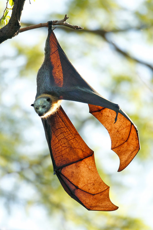arythusa:  birdfingers:  mogget:  wigmund:  Grey-Headed Flying Fox (Pteropus poliocephalus) wants to give you hugs.  meow  huge patoot  such amazing shape design! @_@