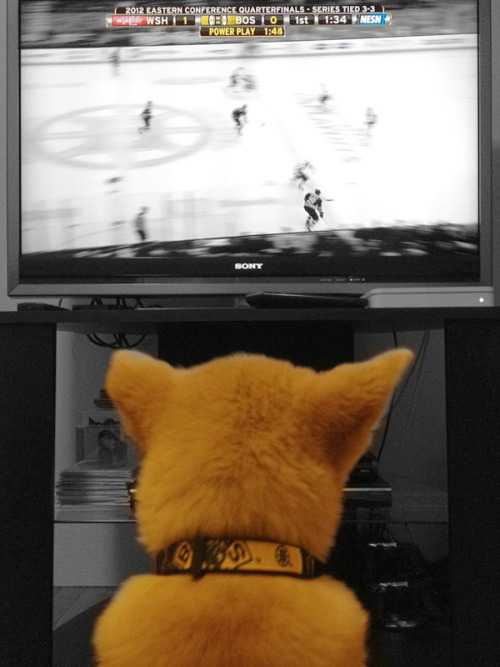 My baby watching the Bruins game in his Bruins collar! LET'S GO B'S!! Stanley Cup 2012 baby!!