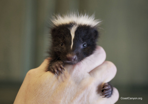 "An orphaned baby skunk ""Matilda"".   After her mom died, Matilda's brother was found and taken to Coast & Canyon Wildlife Rehabilitation in Malibu, California for care.  The following day, sweet little hungry Matilda was found wandering in the same yard looking for her family.  Her finder said ""all she wants to do is cuddle.""   She's now in an incubator at Coast & Canyon ~ safe, warm and snuggled up with her brother. CoastCanyon.org"
