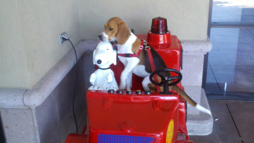 glanzer:  4.22.12 Baxter and fellow beagle Snoopy go for a ride at the grocery store.  This is simply far too cute =]