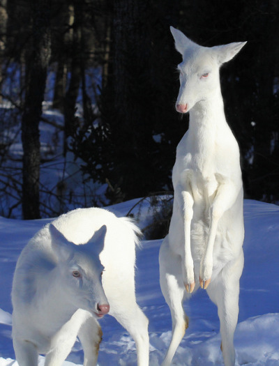 guhn:   Albino Whitetail Deer (Lifeinthenorthwoods.com)  im going to cry  im going to cry