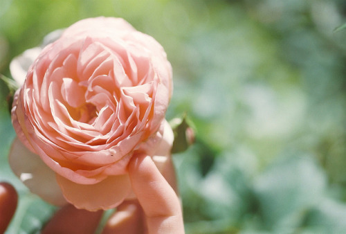 eliego:  roses just dont smell like this anymore by katharine r0se on Flickr.