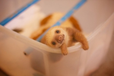 the-absolute-best-posts:  llbwwb: Anybody in The Mood For a Baby Sloth? via:cuteoverload   Follow this blog, you will love it on your dashboard