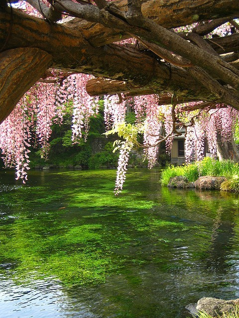 Wisteria Bridge, Kyoto, Japan