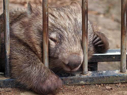 bottleofink:  Sleeping Wombat  this one's for yukidama