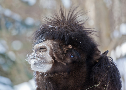 Do You Like My Hair Do? [Explored] by Douglas Brown on Flickr. Bactrian Camels live in the high deserts of Mongolia which may not have as much snow as Alaska but has very frigid temperatures in Winter. With their unique coats which adjust to the temperature, the Bactrian Camel can do well in Far Northern Climates.