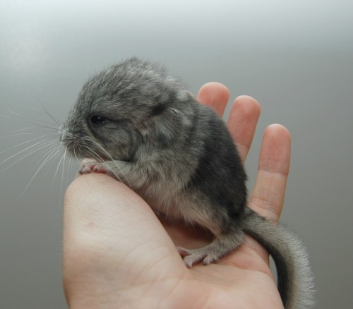 Not a puppy, or kitten. Can we get some love for a baby chinchilla???!