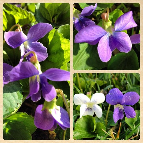 Violets in the backyard #flowers (Taken with instagram)