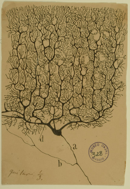 Cerebellar Purkinje Cell Have you heard of Santiago Ramón y Cajal? He was a doctor in Spain who made legendary contributions to neuroanatomy, and created some really amazing drawings.  It is perhaps not surprising that he himself really wanted to be an artist, but his father was the one who drove him into medicine.  I can't say I am too sad that he was pushed into the medical field, because what he did was remarkable- he joined together art and science to study the brain and create images that we still study today. He discovered a number of neurons, including the axonal growth cone, and described neuronal connectivities and structures that were not clear before.  He used a Golgi Stain (which is silver nitrate). The Golgi staining method stains neurons randomly, but in their entirety (so it does not stain all neurons in a slice, but it will stain cell body AND dendrites AND axons of the neurons it does stain).  This was perfect for Ramón y Cajal and he drew the neurons that he saw through his microscope. This drawing is of a cerebellar purkinje cell.  Do you see what I mean about it looking very tree-like?  This is just one of the yellow stained cells from this image. [Image Source]