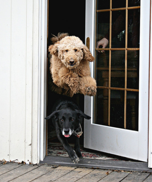 "dowhattowhosedog:  ""Everytime I let Buddy and Luke outside, Luke always jumps over Buddy. I barely get the door open enough before they are both out the door. I had Nathan hold them off while I went outside to wait outside to catch this moment."" Boing!!! It's time to go outside and play now!! by *Caity* on Flickr."